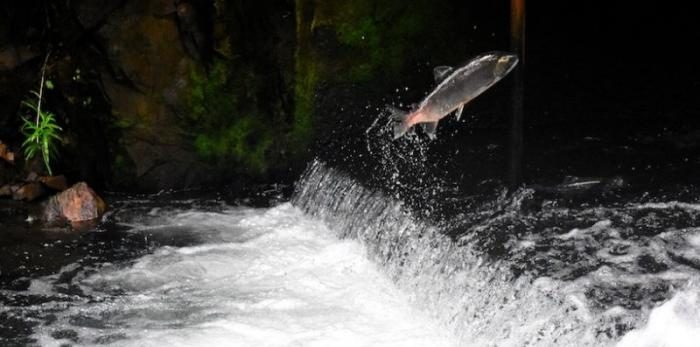 A fish jumps out of the water on its way upstream near Seward, Alaska. Changes in the paths of rivers and streams can have evolutionary consequences.